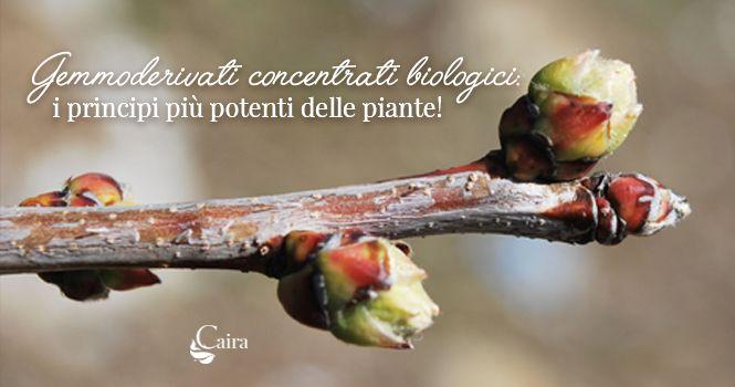 gemmoderivato concentrato biologico principi attivi delle piante